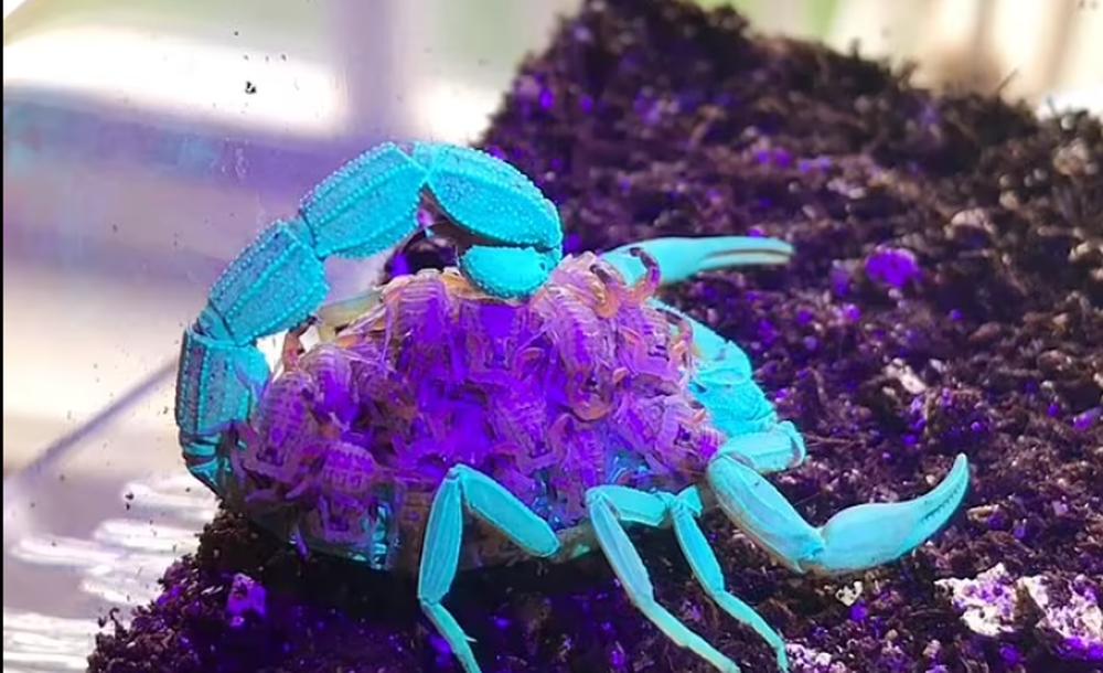 Hình ảnh tuyệt đẹp bọ cạp nâu chuyển màu xanh tím dưới tia UV - Ảnh 2.