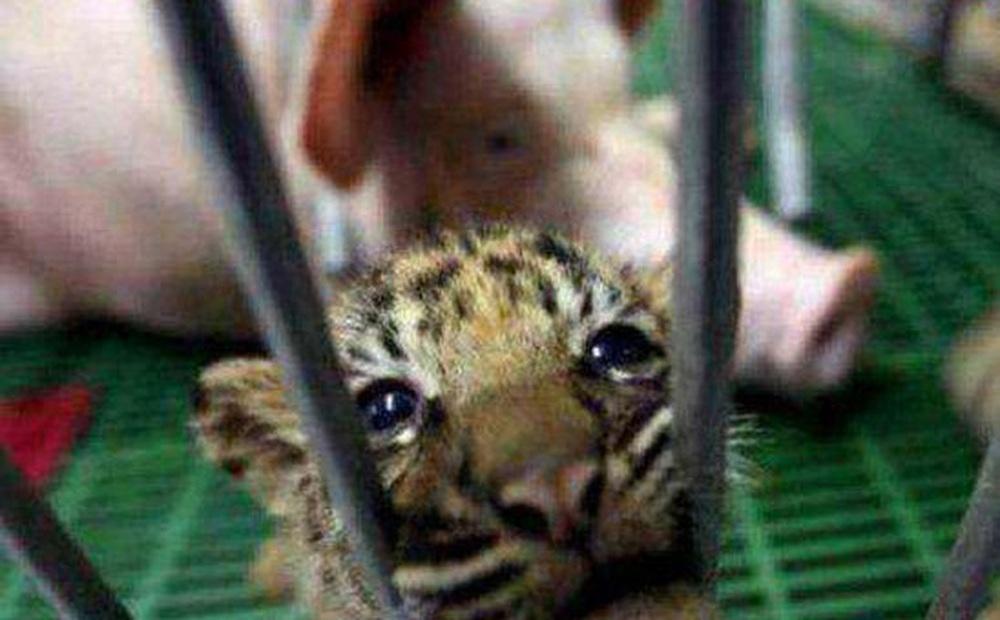 Đưa hổ con vào chỗ lợn mẹ để cho bú, vài tháng sau, người nuôi giật mình không biết phải làm sao khi chứng kiến cảnh tượng này