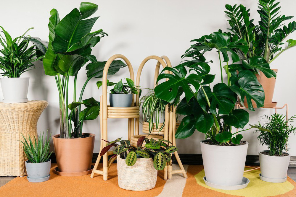 5 lưu ý về phong thủy khi trồng cây cảnh trong nhà, giải trừ vận xui, lộc tài tăng tiến - Ảnh 2.