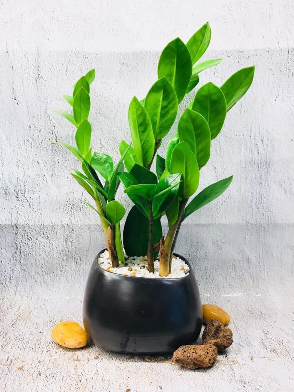 5 lưu ý về phong thủy khi trồng cây cảnh trong nhà, giải trừ vận xui, lộc tài tăng tiến - Ảnh 4.