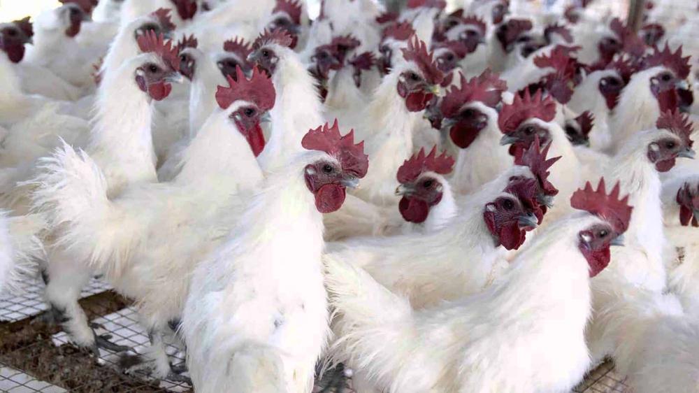 Cảnh báo thừa khoai lang tím, dưa leo, gà lông trắng và nhiều loại nông sản ở các tỉnh phía Nam - Ảnh 2.