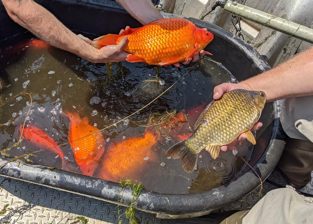 Không muốn nuôi cá vàng nữa liền đem thả xuống hồ, không ngờ 1 thời gian sau cảnh tượng khủng khiếp xuất hiện - Ảnh 4.