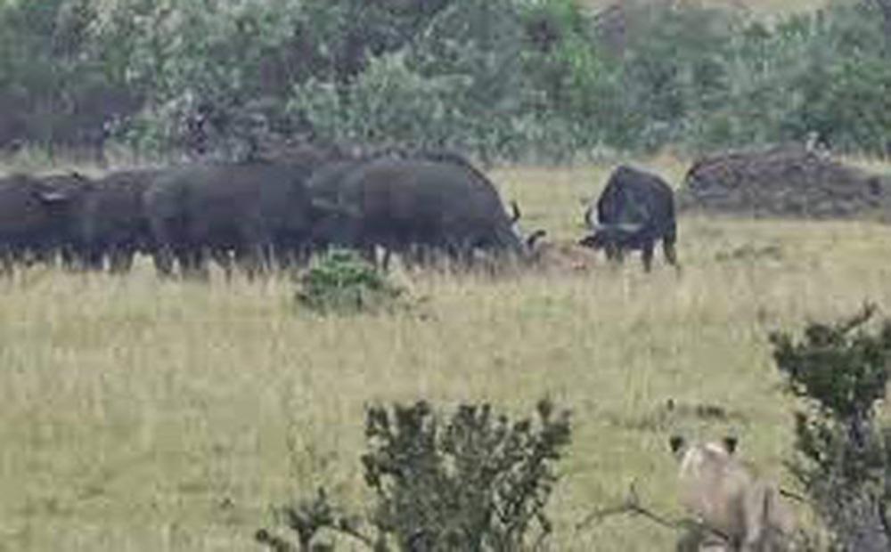 'Đơn thương độc mã' săn trâu rừng, sư tử đực bị con mồi húc tả tơi