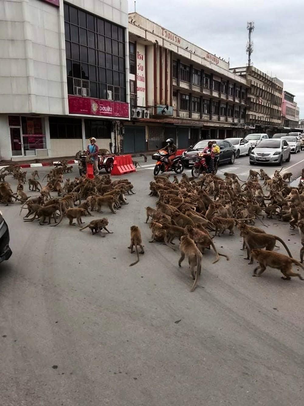 Giãn cách vì Covid-19, khỉ xâm chiếm thành phố, người dân sợ hãi trốn trong nhà, có việc cần lắm mới ra đường - Ảnh 1.