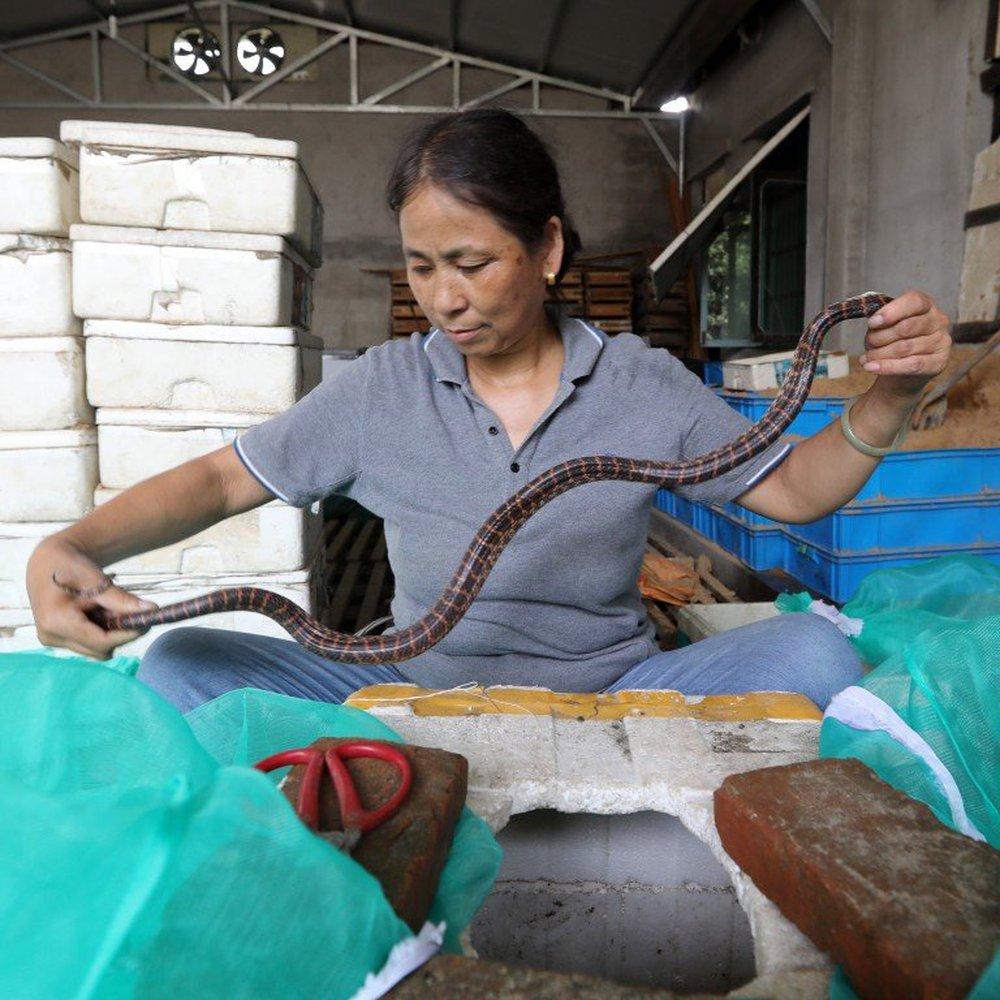 Làng rắn Trung Quốc, khâu miệng rắn kiếm 285 tỷ VNĐ/năm nhưng giờ lại điêu đứng vì lý do này! - Ảnh 2.