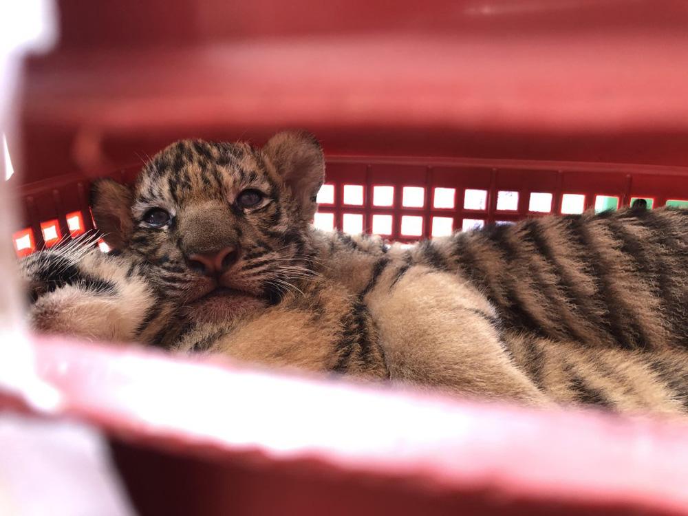Thay biển số giả để chở 7 con hổ đi giao cho khách, lùi xe đâm nát đầu xe cảnh sát để chạy trốn - Ảnh 2.