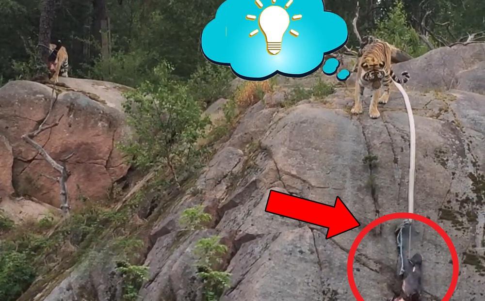 Gặp miếng thịt cheo leo ở vách đá, một trong 2 con hổ có hành động khiến du khách bất ngờ