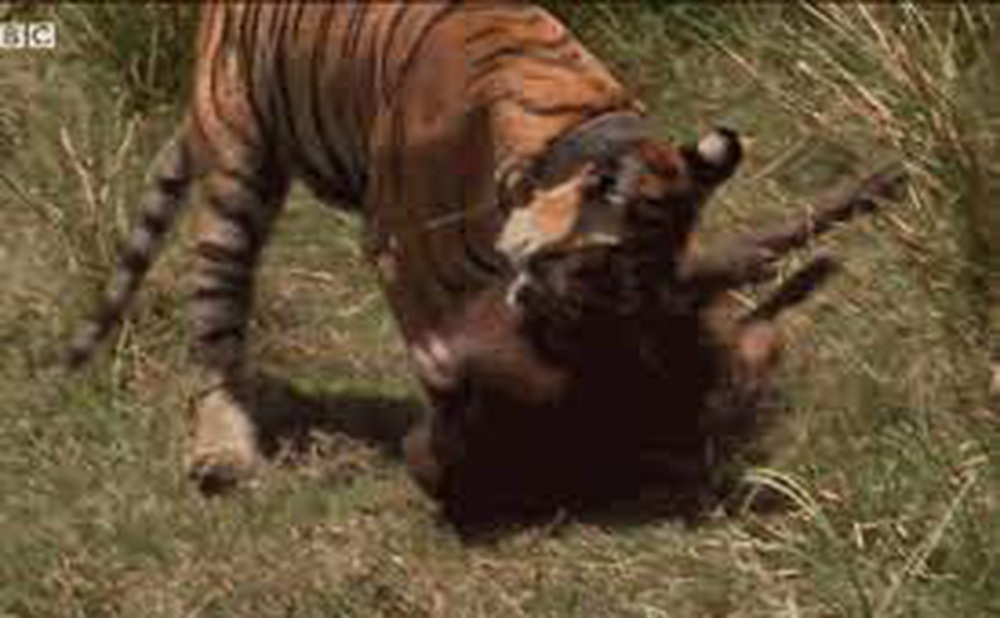 Khoảnh khắc cực hiếm: Hổ dữ đoạt mạng lợn rừng trong chớp mắt