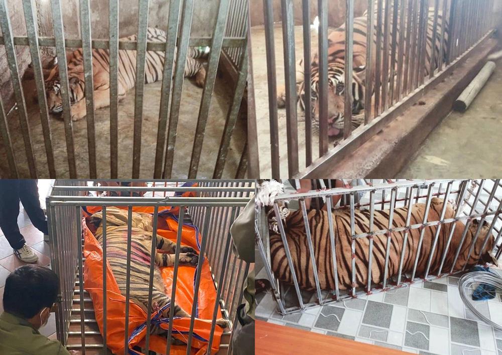 Vụ xây hầm nuôi nhốt trái phép 17 cá thể hổ ở Nghệ An, đây là loài hổ gì? - Ảnh 1.