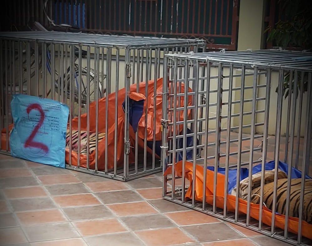 Vụ làm hầm nuôi nhốt hổ như nuôi heo: Kiểm lâm đã từng đi kiểm tra nhưng không phát hiện được gì - Ảnh 4.