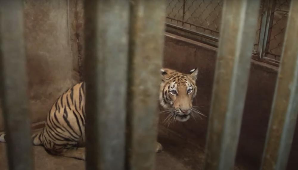 Vụ bắt quả tang 2 nhà dân nuôi nhốt 17 con hổ Đông Dương: 8 con hổ lớn đã chết sau khi giải cứu - Ảnh 1.