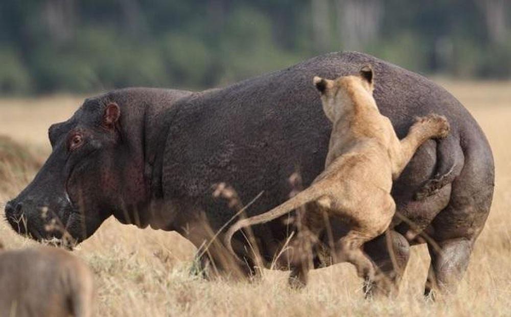 Sư tử tấn công hà mã, rất nhanh sau đó phải tháo chạy