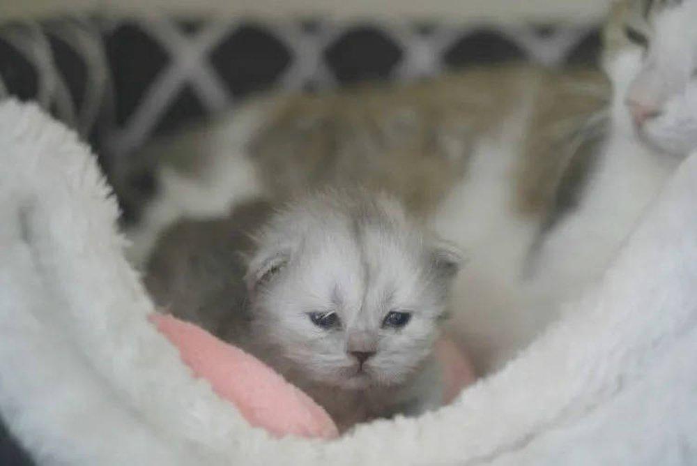 Dân mạng Trung Quốc háo hức tìm chồng cho một con mèo nhân bản vô tính đến kỳ động dục - Ảnh 1.