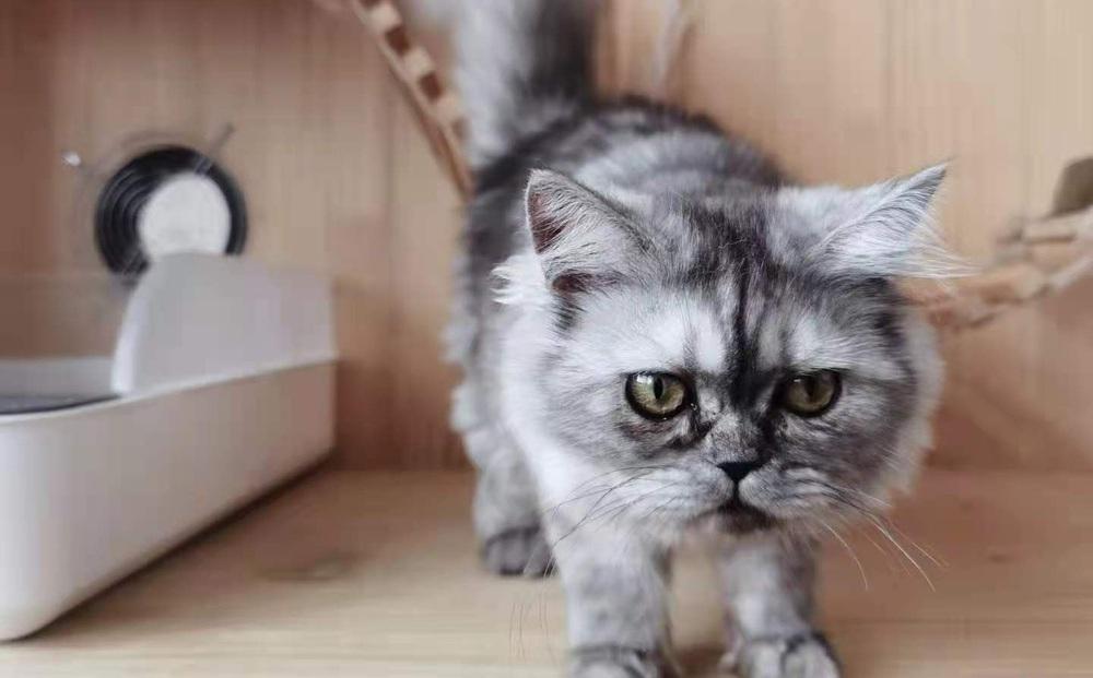 Dân mạng Trung Quốc háo hức 'tìm chồng' cho một con mèo nhân bản vô tính đến kỳ động dục