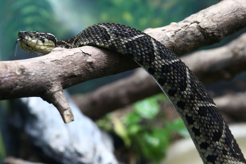 Phát hiện chất trong nọc độc rắn khổng lồ có thể trị COVID-19 - Ảnh 1.