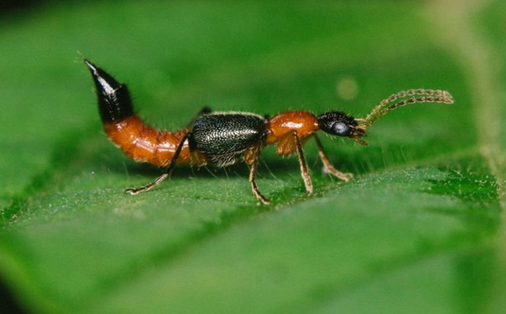 6 loài cây giúp bạn đuổi kiến ba khoang ra khỏi nhà nhanh chóng, hiệu quả, không cần dùng đến hóa chất