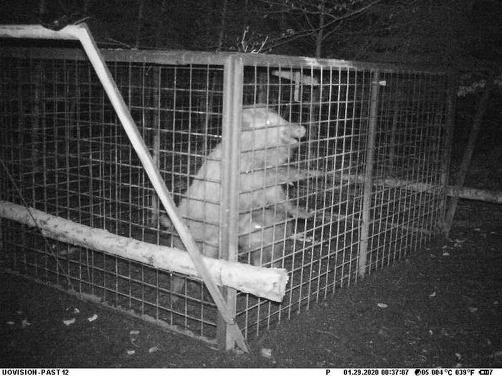 Thấy con non mắc bẫy, lợn rừng mẹ làm ra hành động khiến các nhà nghiên cứu cũng choáng váng - Ảnh 2.