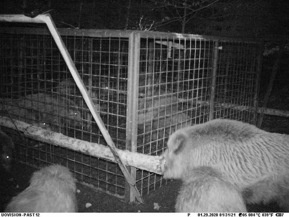 Thấy con non mắc bẫy, lợn rừng mẹ làm ra hành động khiến các nhà nghiên cứu cũng choáng váng - Ảnh 3.