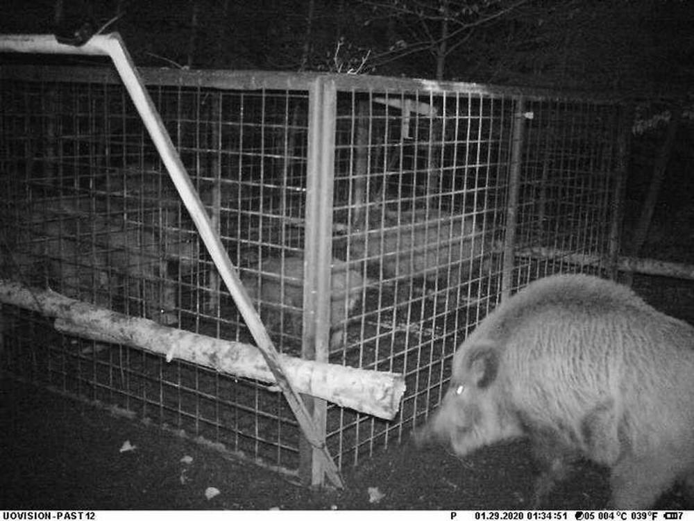 Thấy con non mắc bẫy, lợn rừng mẹ làm ra hành động khiến các nhà nghiên cứu cũng choáng váng - Ảnh 4.