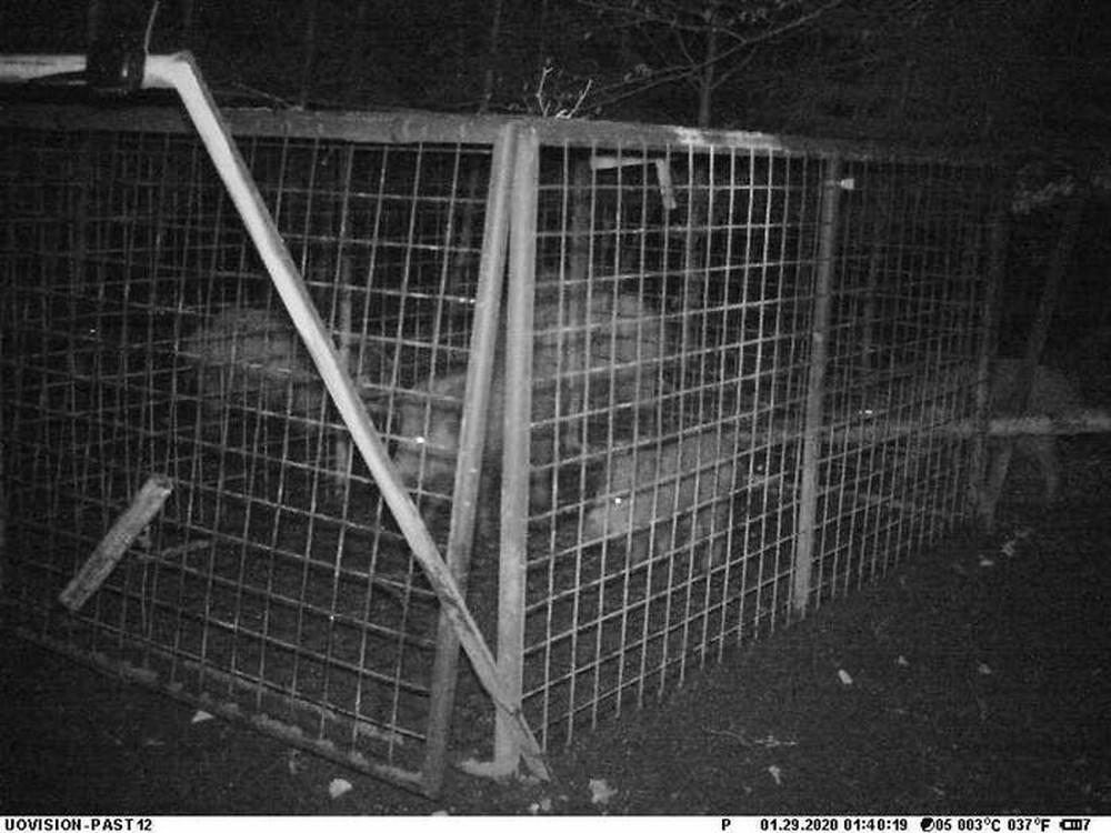 Thấy con non mắc bẫy, lợn rừng mẹ làm ra hành động khiến các nhà nghiên cứu cũng choáng váng - Ảnh 5.