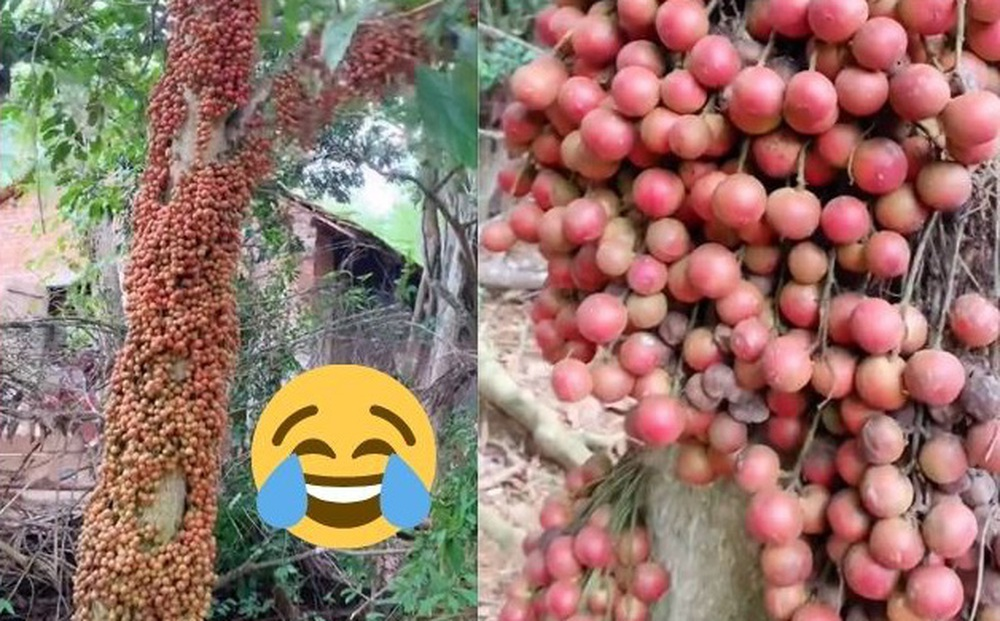 Cô gái khoe loại quả mọc chi chít từ gốc lên thân cây khiến dân tình tròn mắt, nhìn kỹ thì nhận ra ngay món ngon tuổi thơ