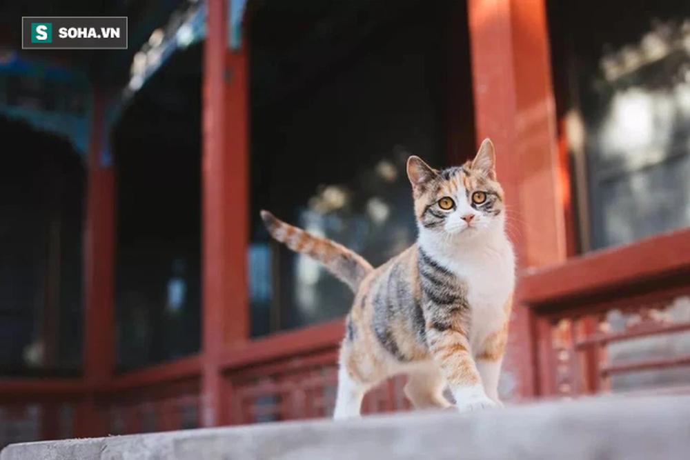 Trong Cố cung có gần 200 con mèo, tại sao khi đến thăm quan, du khách hầu như không có cơ hội nhìn thấy chúng? - Ảnh 2.