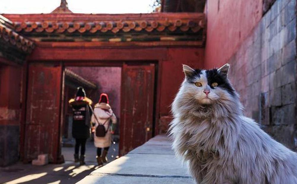 Trong Cố cung có gần 200 con mèo, tại sao khi đến thăm quan, du khách hầu như không có cơ hội nhìn thấy chúng?