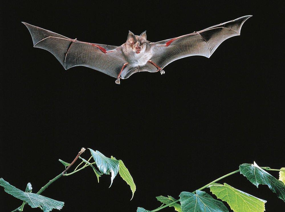 Phát hiện 3 virus giống SARS-CoV-2 ở dơi trong hang động Lào - Ảnh 1.