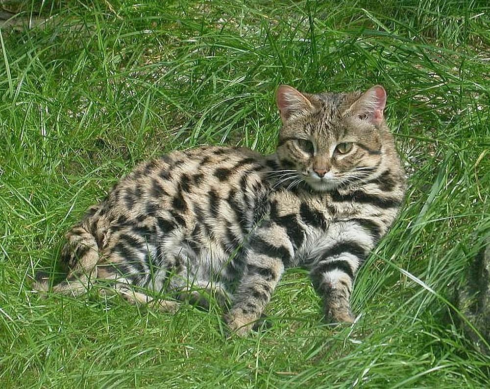 Mèo nhỏ nhưng có võ, con mồi hiếm khi thoát khỏi móng vuốt của nó - Ảnh 1.