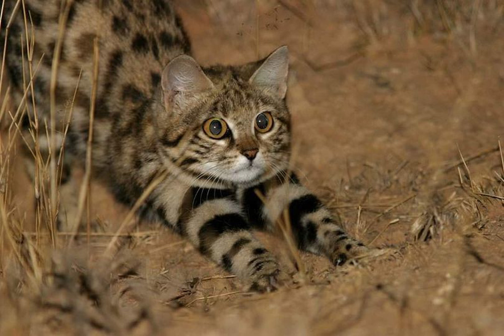 Mèo nhỏ nhưng có võ, con mồi hiếm khi thoát khỏi móng vuốt của nó - Ảnh 2.
