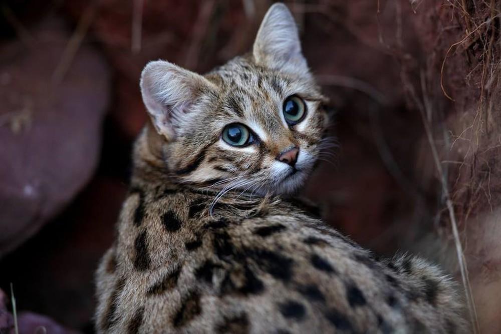 Mèo nhỏ nhưng có võ, con mồi hiếm khi thoát khỏi móng vuốt của nó - Ảnh 3.