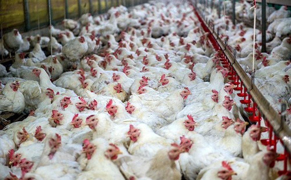 """""""Sốc toàn tập"""" khi 99% số gà trong siêu thị ở Mỹ đều biến đổi đáng sợ: Dân Mỹ khốn đốn"""