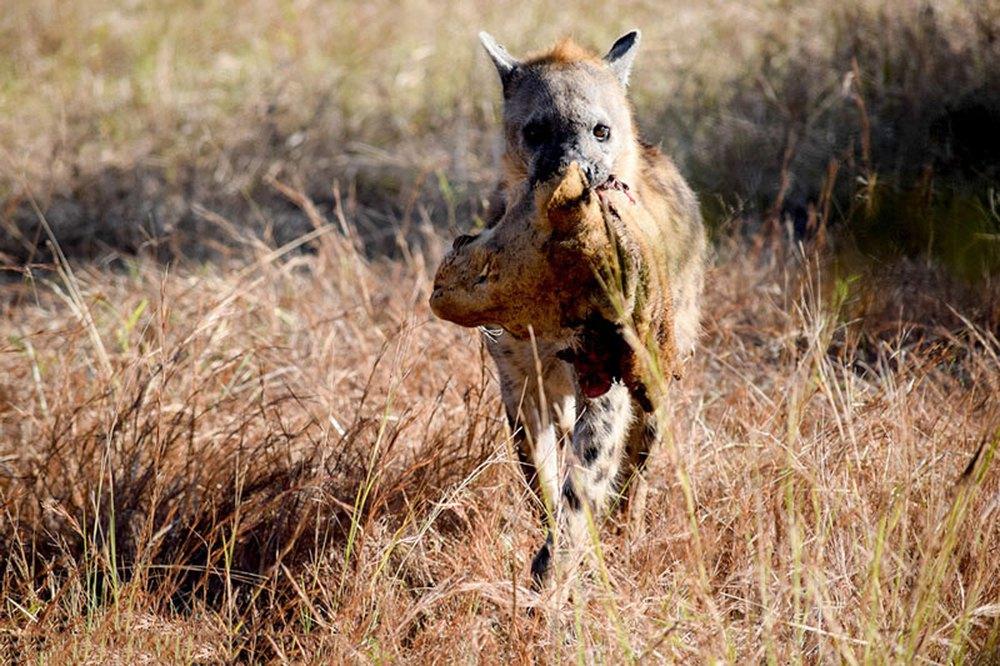 Cảnh tượng khó tin: Linh cẩu cắn lìa đầu sư tử cực kỳ dã man - Ảnh 1.