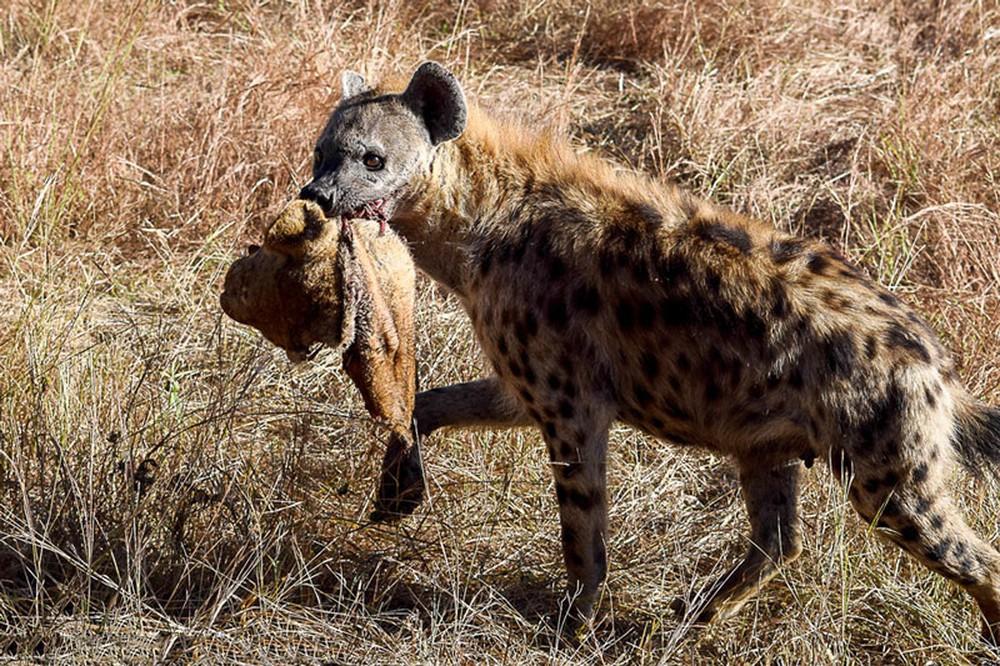 Cảnh tượng khó tin: Linh cẩu cắn lìa đầu sư tử cực kỳ dã man - Ảnh 2.
