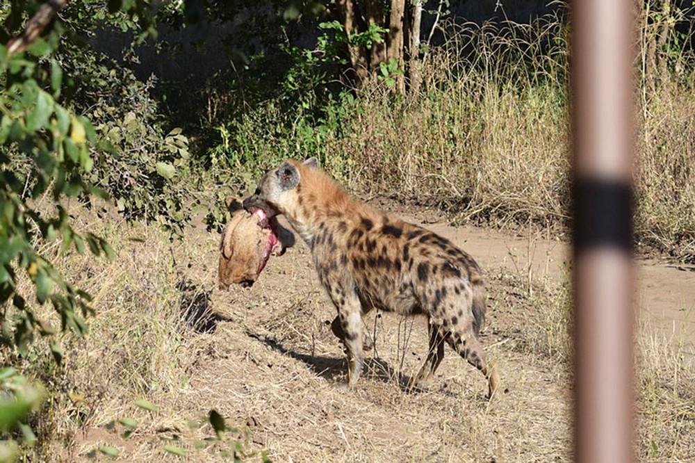 Cảnh tượng khó tin: Linh cẩu cắn lìa đầu sư tử cực kỳ dã man - Ảnh 3.
