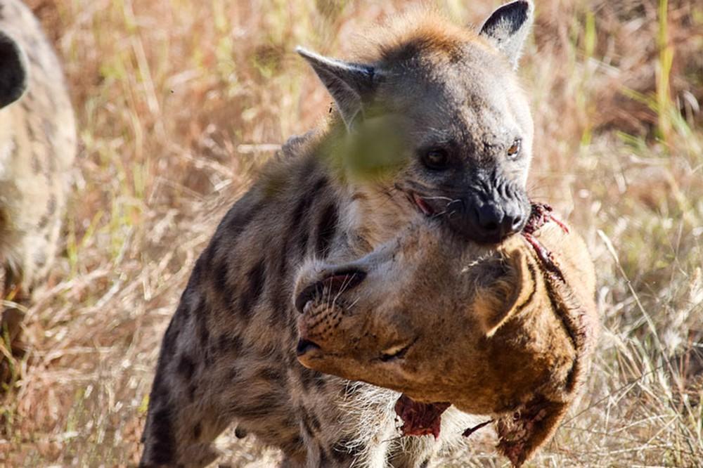 Cảnh tượng khó tin: Linh cẩu cắn lìa đầu sư tử cực kỳ dã man - Ảnh 4.