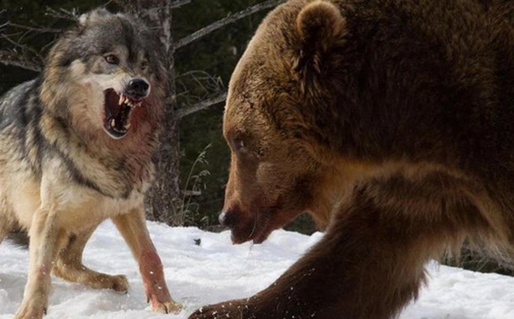 Các nhà khoa học lần đầu ghi nhận cảnh tượng chó sói 'dàn cảnh' để bắt gấu nâu
