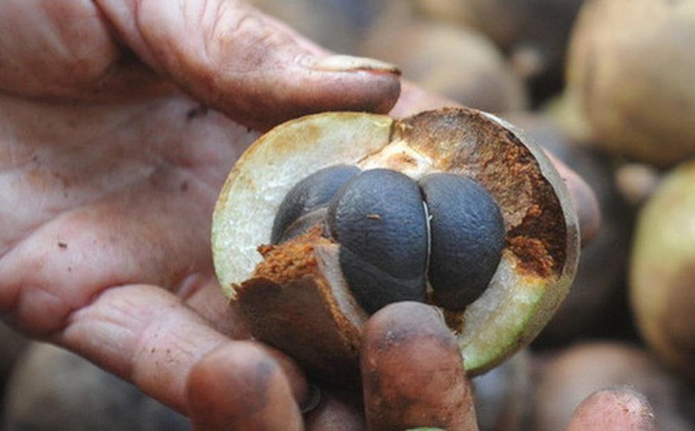 Loại cây mọc đầy ở Việt Nam, có hạt nhìn như phân thỏ, người Trung Quốc nhặt lấy ép ra dầu bán tiền triệu