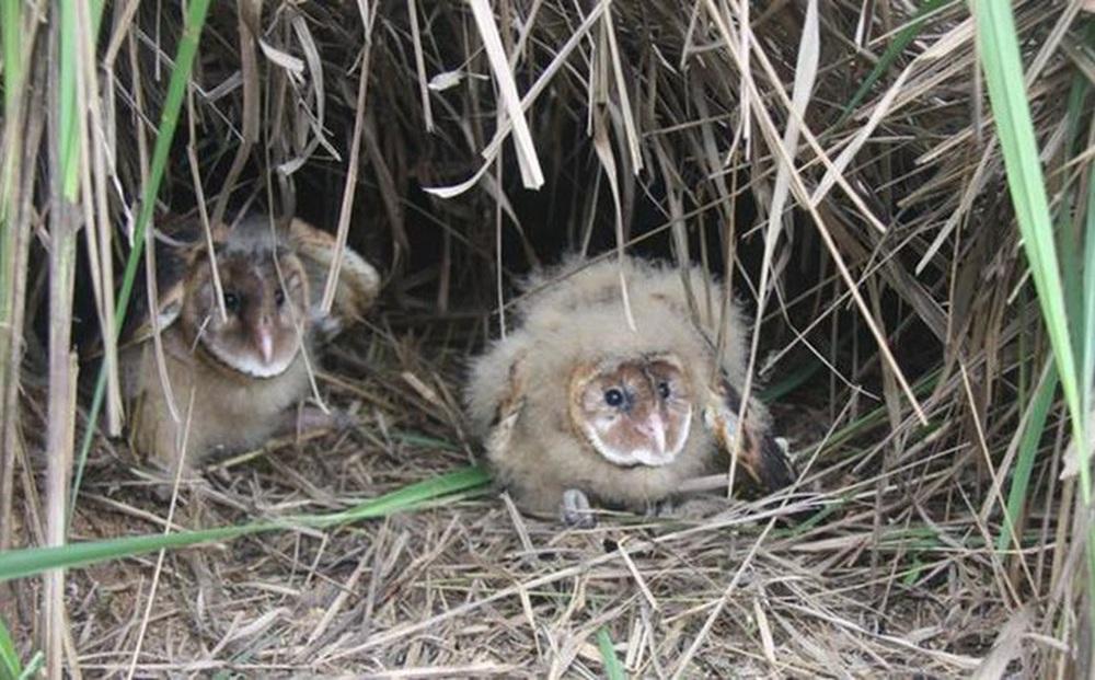"""Nhặt được 2 con chim non mang về nhà nuôi, một thời gian sau, ông lão phải """"tiễn khách"""" khi biết lai lịch của chúng"""