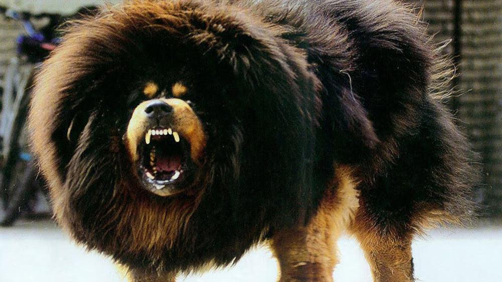 Quên ngao Tây Tạng đi, đây mới là loài chó có cú cắn hủy diệt nhất thế giới - Ảnh 1.