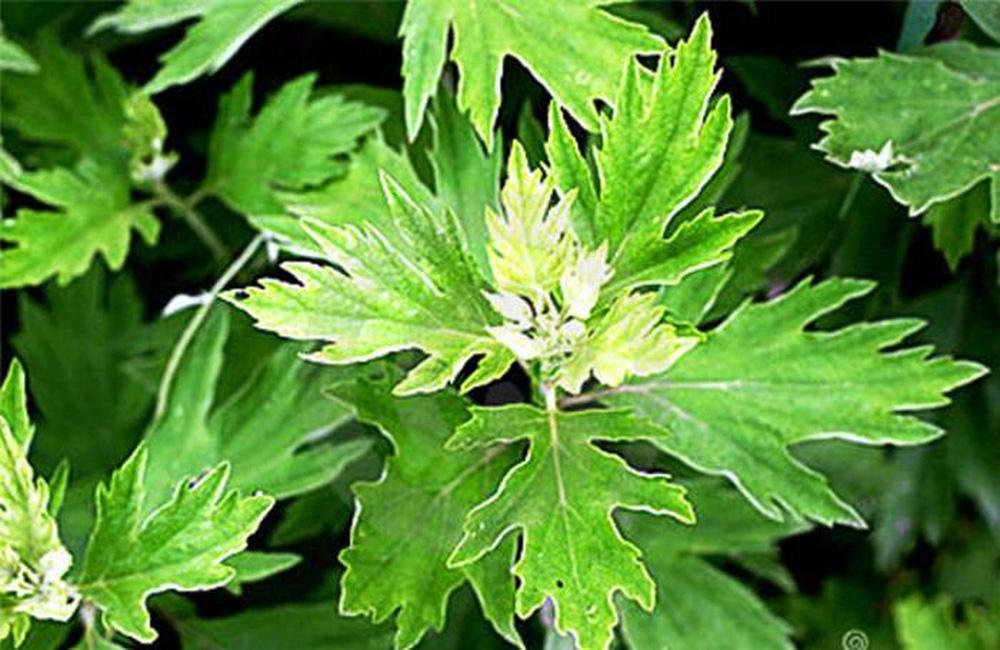 Những bài thuốc quý từ lá ngải cứu bạn nên biết để chữa bệnh mùa hè, phòng bệnh mùa đông - Ảnh 1.