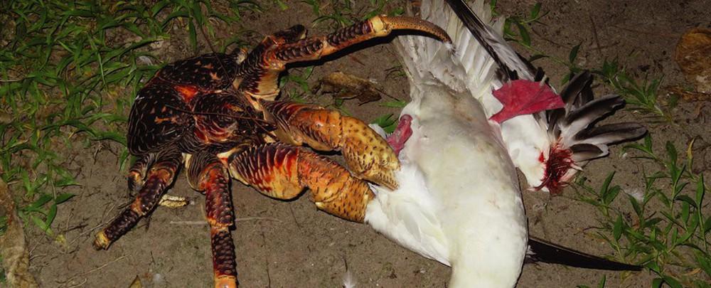 Kinh dị loài cua khổng lồ bóc dừa, bẻ chim và thống trị cả một hòn đảo - Ảnh 3.