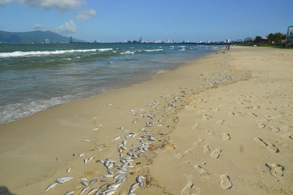 Cá chết trắng chưa rõ nguyên nhân dọc bờ biển Đà Nẵng - Ảnh 3.