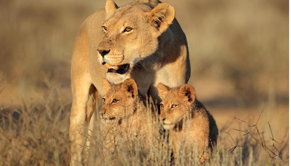 Cảnh báo: Không chỉ tê giác và hổ, sư tử châu Phi cũng sẽ sớm biến mất thôi - Ảnh 4.