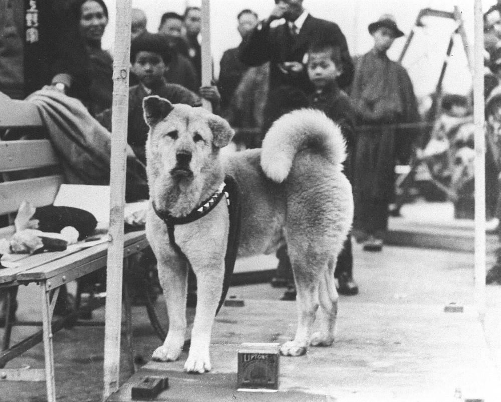 Câu chuyện cảm động về chú chó hơn 9 năm đợi người chủ quá cố ở sân ga rồi ra đi trong niềm tiếc thương của cả nước Nhật - Ảnh 1.