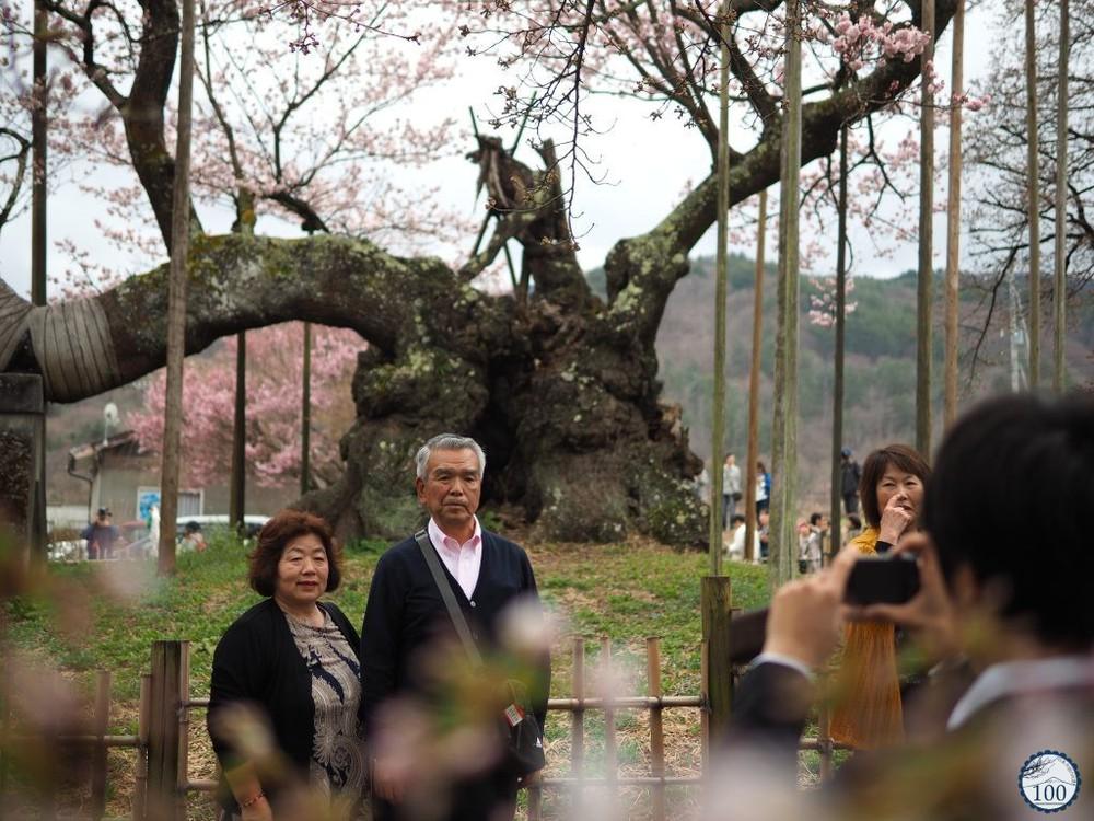 Xem tận mắt cây anh đào được chính phủ Nhật xếp vào hàng báu vật quốc gia - Ảnh 3.