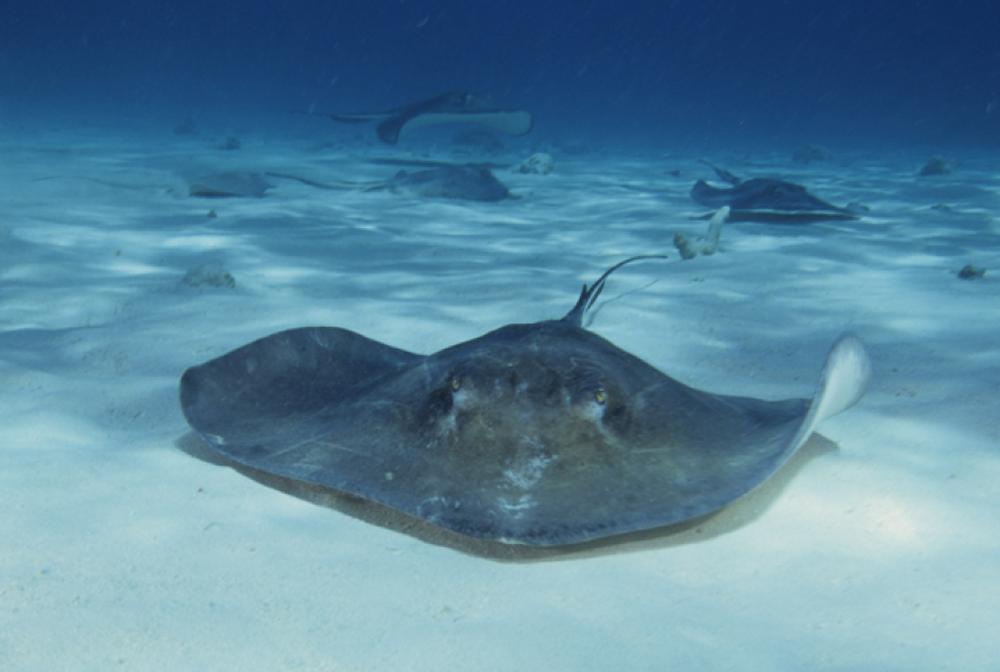Ngụy trang như tàng hình, cá đuối vẫn không thể thoát khỏi sát thủ biển xanh - Ảnh 1.