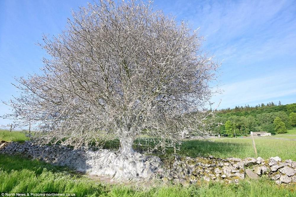Cái cây kỳ lạ bên bờ sông nước Anh, không bệnh tật nhưng toàn thân hóa màu trắng muốt - Ảnh 2.