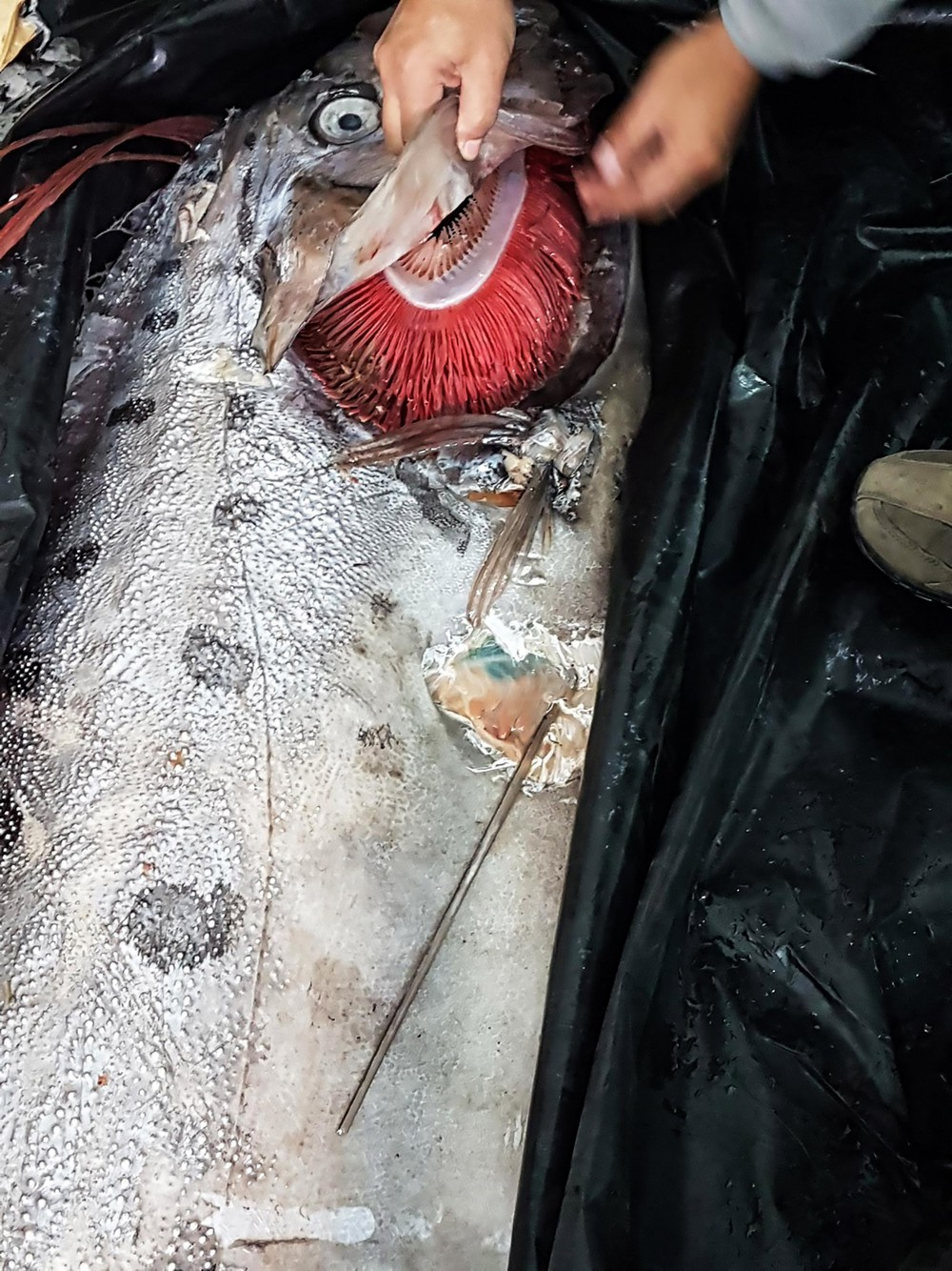 Ngư dân Chile hí hửng mừng hụt khi bắt được sinh vật có ngoại hình hệt như thủy quái - Ảnh 4.