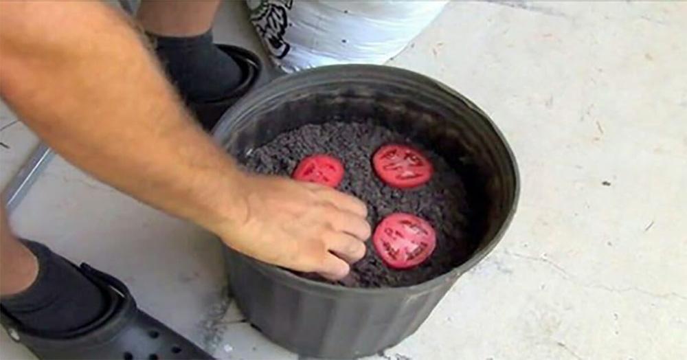 Cà chua chín nẫu đừng vứt đi, hãy thái lát bỏ vào chậu đất, bạn sẽ có cà chua ăn thoải mái - Ảnh 2.